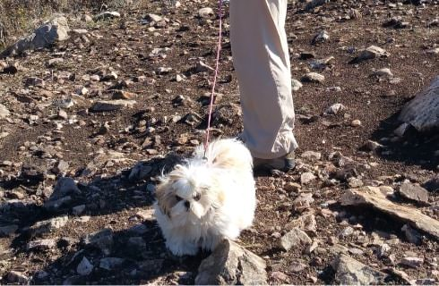 Small white and tan fluffy dog on a leash walking on dirt and rocks not far from ocean