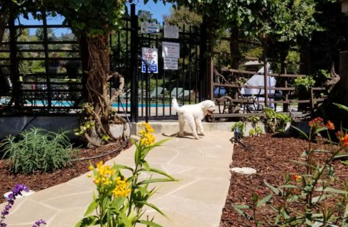 Stone pavered walkway leading up to gated swimming pool area surrounded by lush green vegetation and red, yellow, and purple flowers with white fluffy dog standing by gate