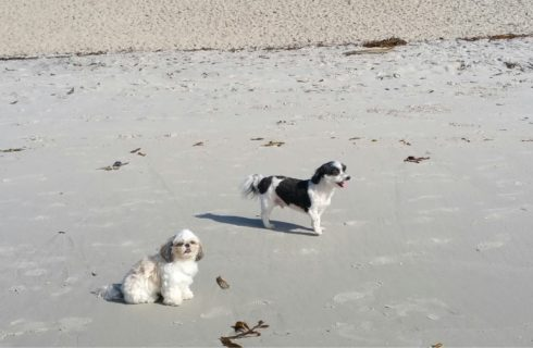 Small white and black dog and white and tan dog playing in the wet sand on the beach