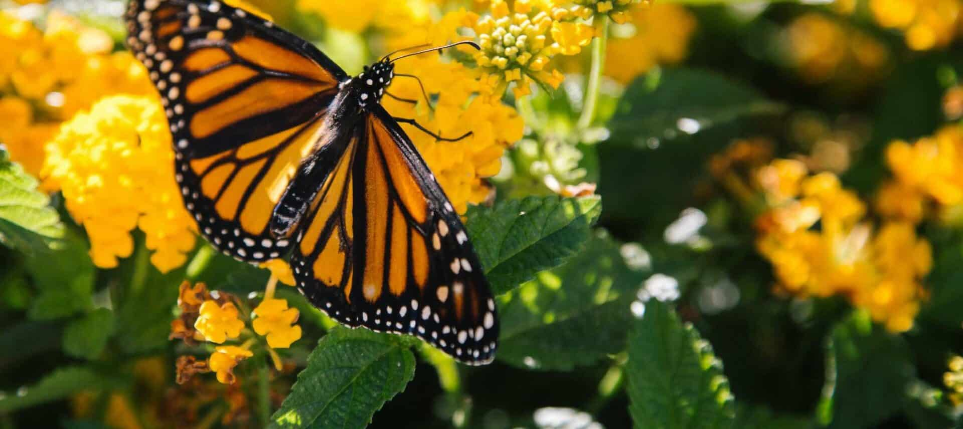 Monarch butterlfies on bright gold flowers with deep green leaves