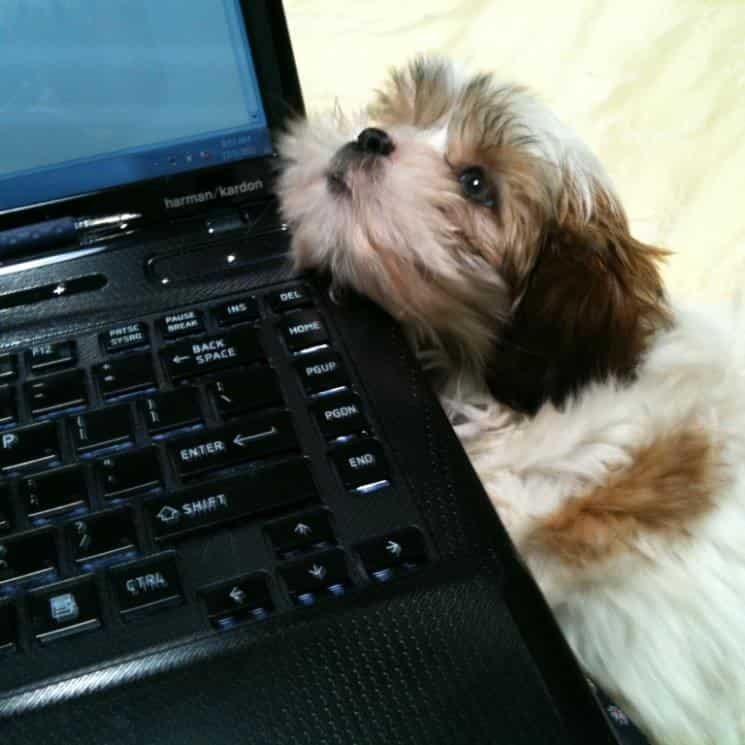 Small dog with white and brown fur resting head on black laptop