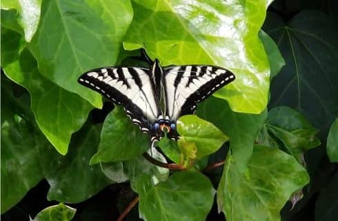 Black and white butterfly sitting on bright green leaves